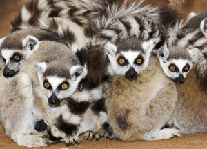 Ring Talied Lemurs